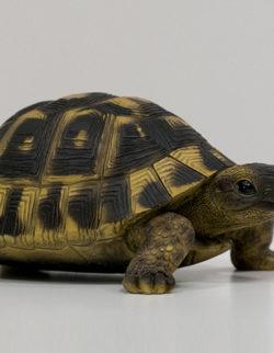 Tartaruga Poly H8 D17